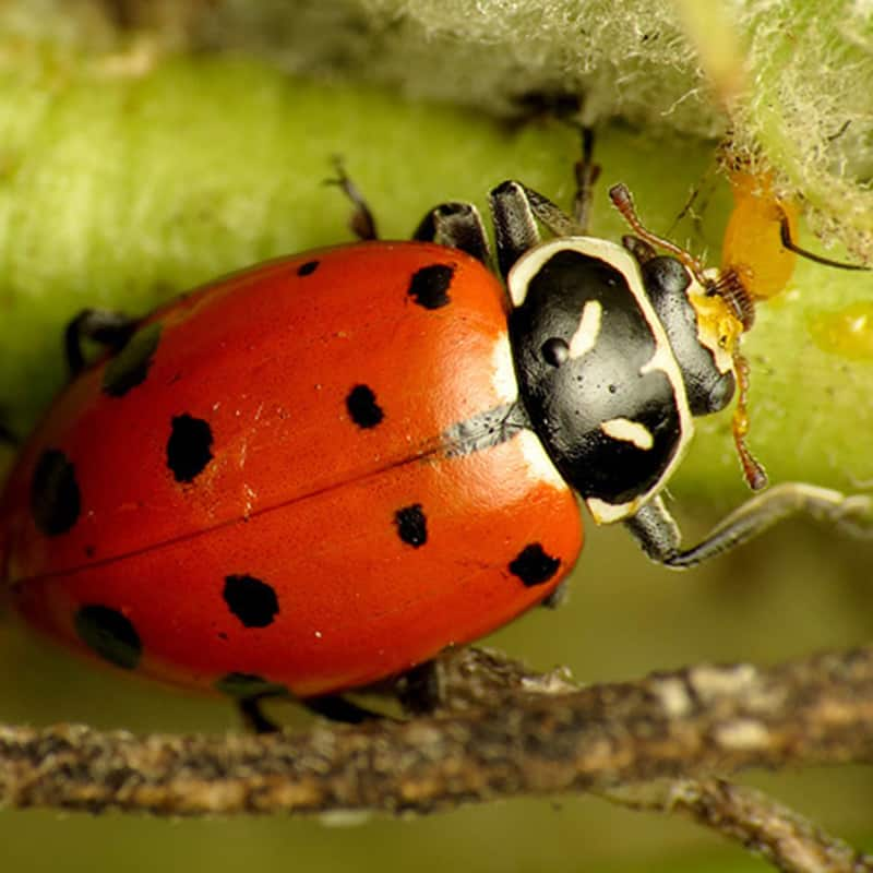 Lady Beetle Eating an Aphid