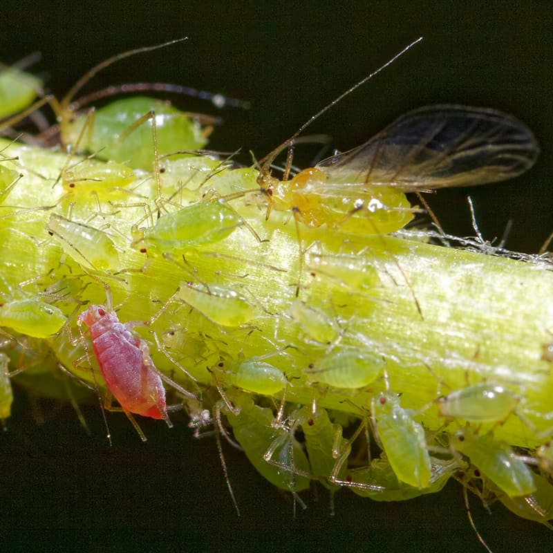 How to get rid of an aphid infestation