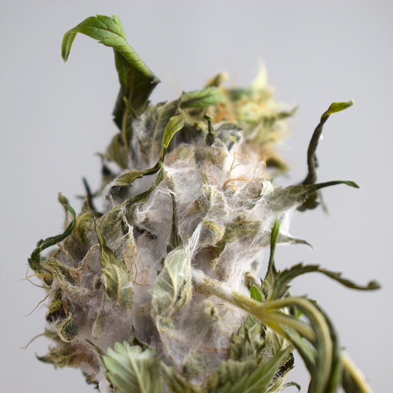 Cannabis Bud Rot