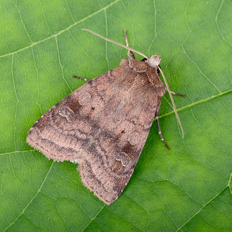 Square Spot Moth