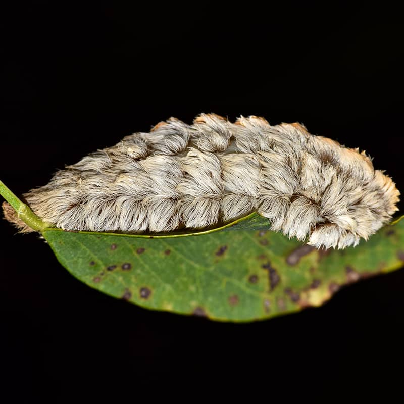 Asp Caterpillars