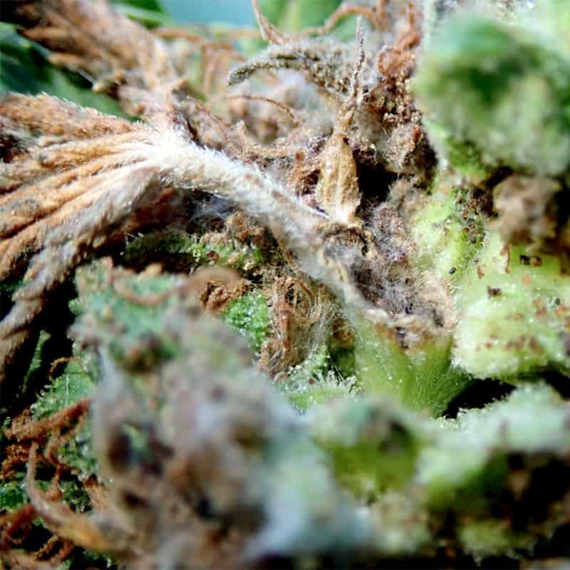 Caterpillar Damage Cannabis