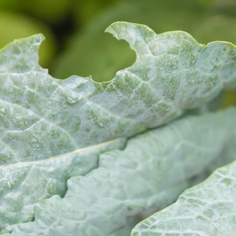 Caterpillar Damage Kale
