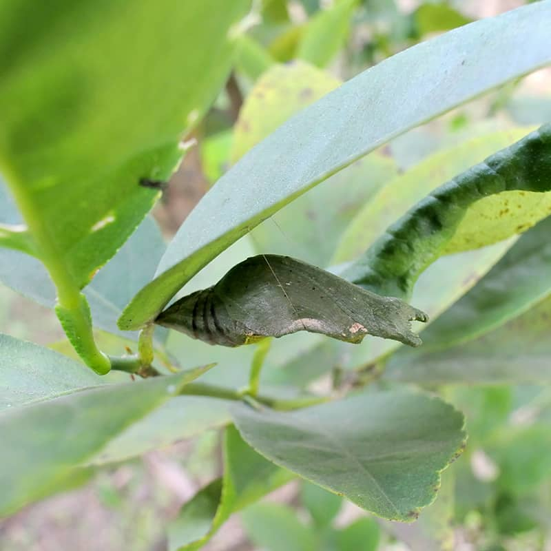 Moth Pupa