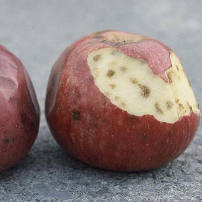 Boron Deficiency in Apples
