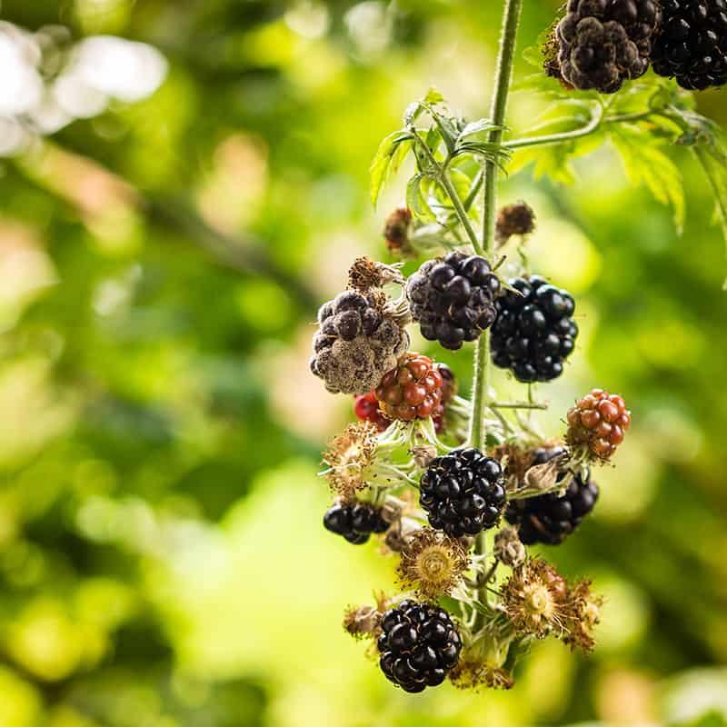 Botrytis Mold On Blackberries