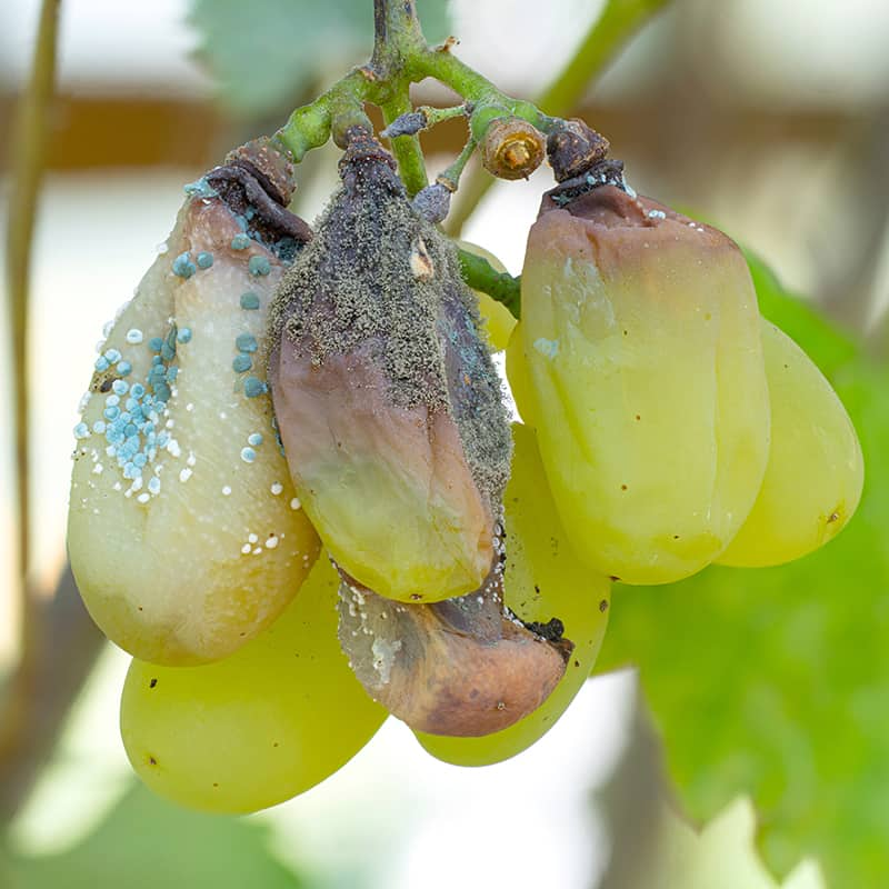 Botrytis On Grapes
