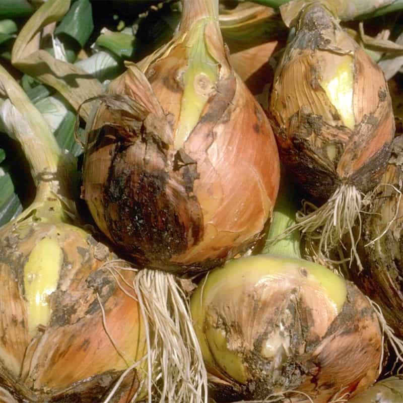 Botrytis Mold On Onions