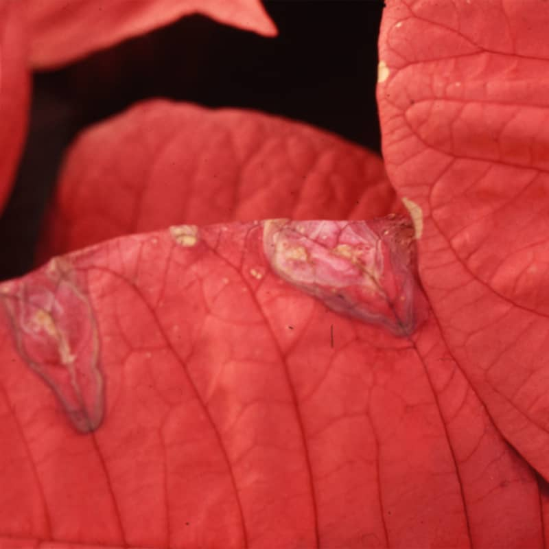 Gray Mold Botrytis Poinsetta
