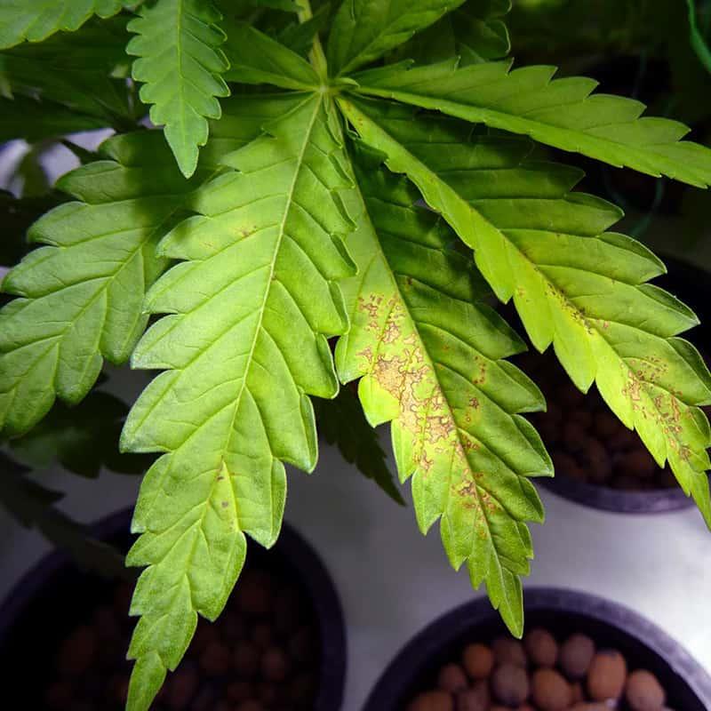 Calcium Deficiency Cannabis