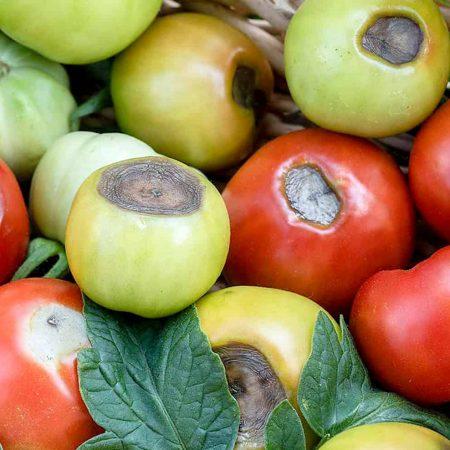 Calcium Deficiency In Plants