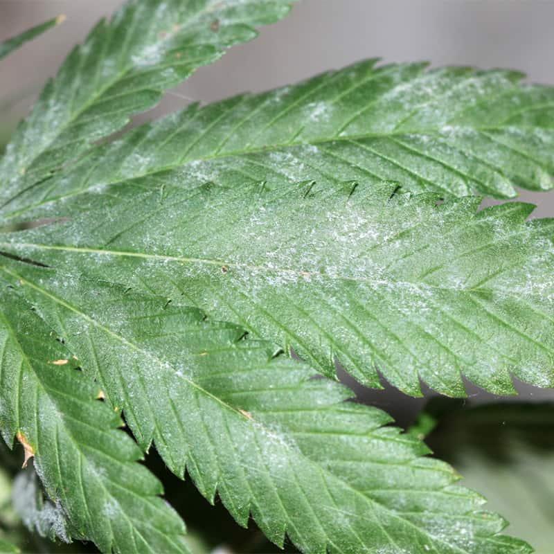 Powdery Mildew On Cannabis