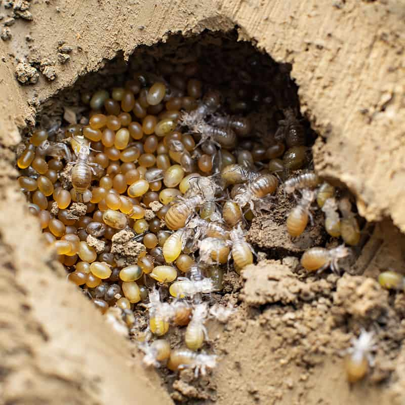 Mole Cricket Nest With Eggs
