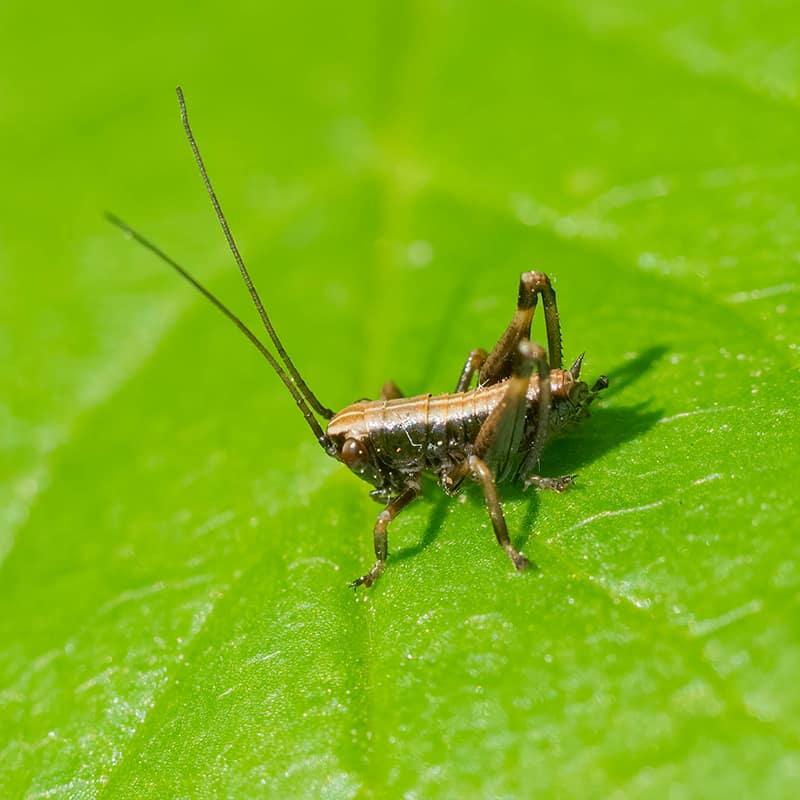 Cricket Nymph