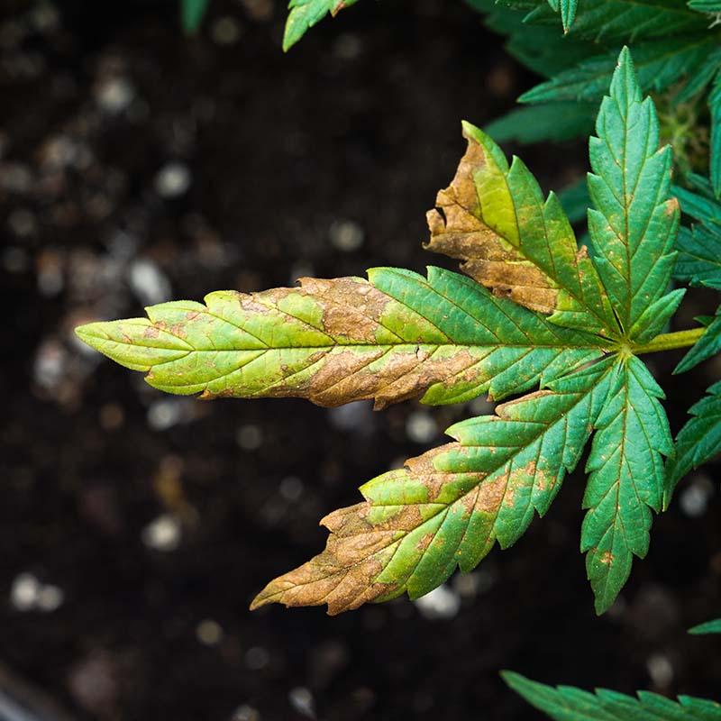 Fungus Gnats Cannabis