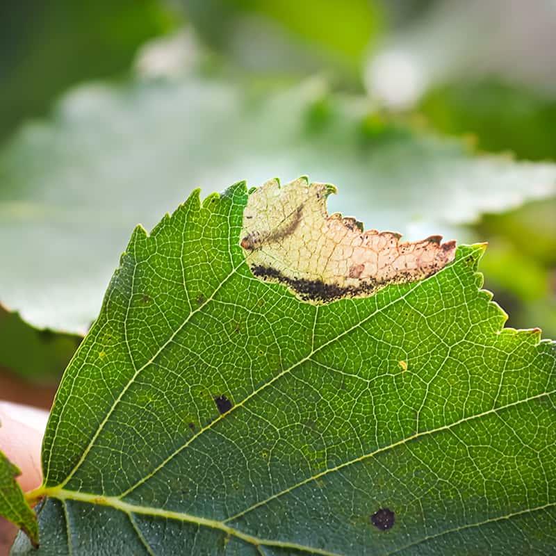 Leaf Miner Pocket
