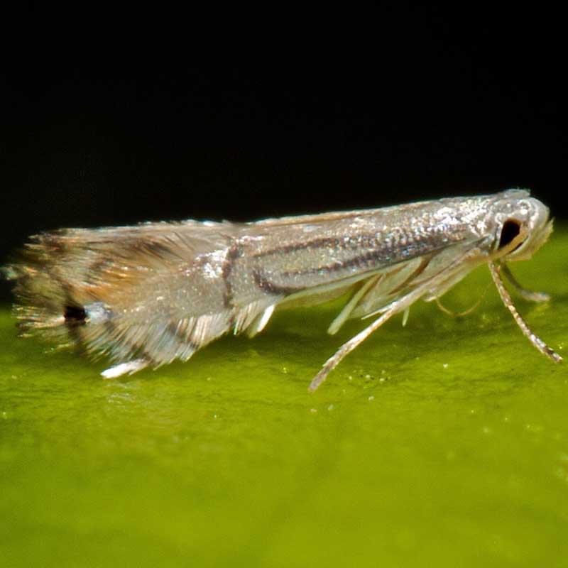 Adult Citrus Leaf Miner Moth