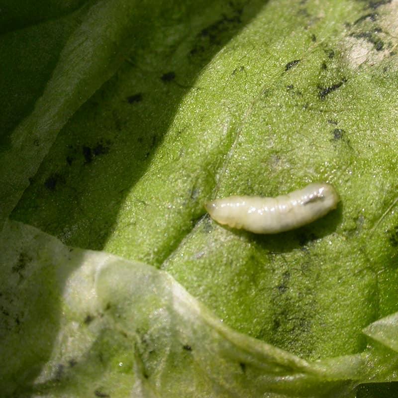 Leaf Miner Larva Beet Plant