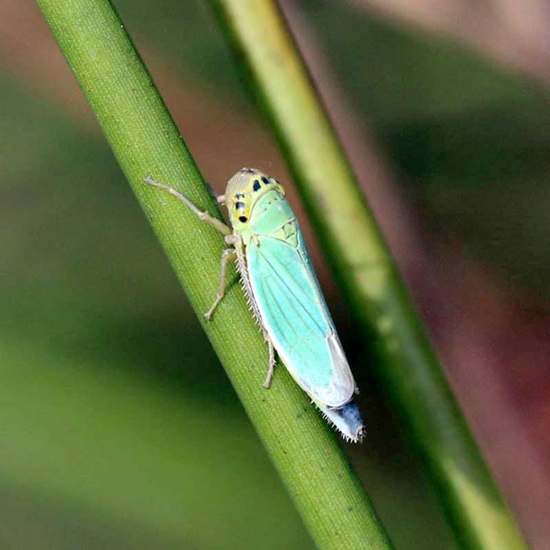 Leafhopper on Cannabis Plant