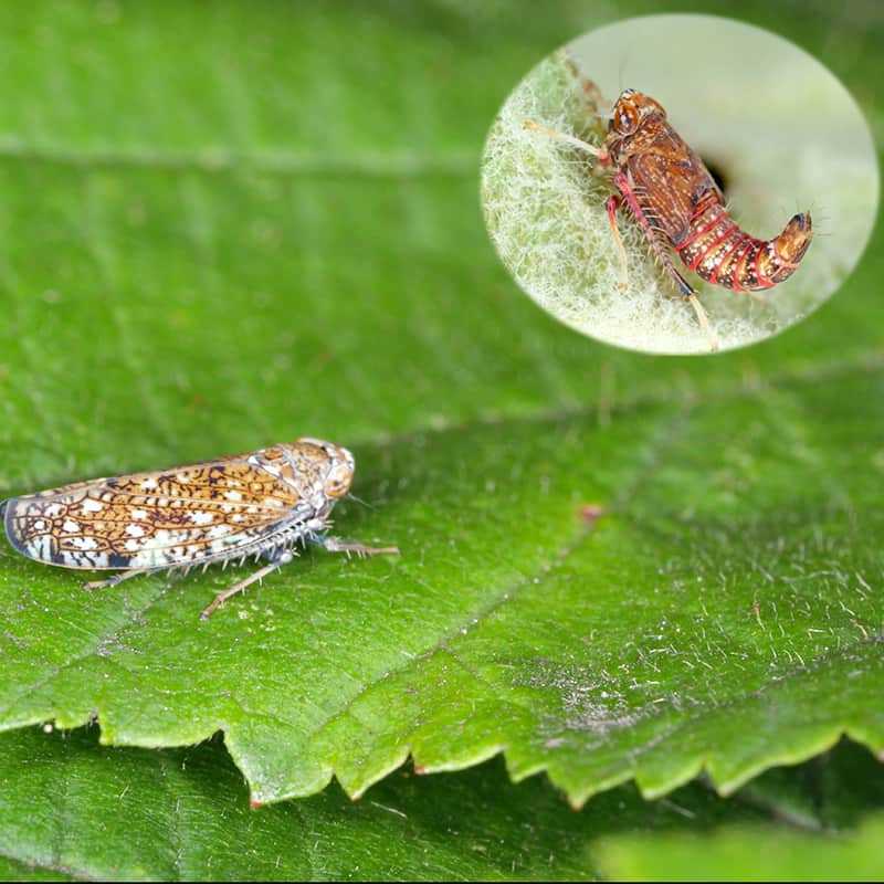 Leafhopper Nymph and Adult