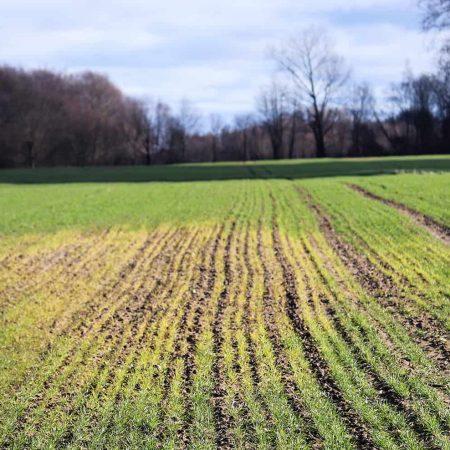 Manganese Deficiency in Plants