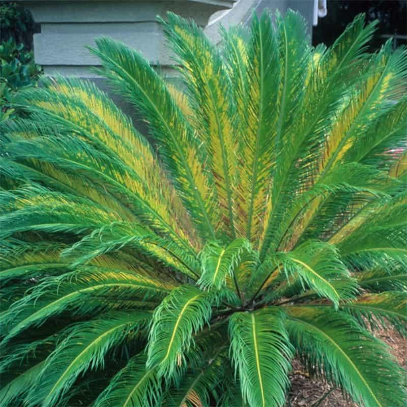 Manganese Deficiency Sago Palm