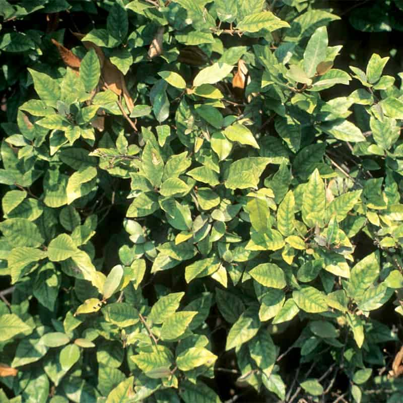 Manganese Deficiency Silverberry Plant