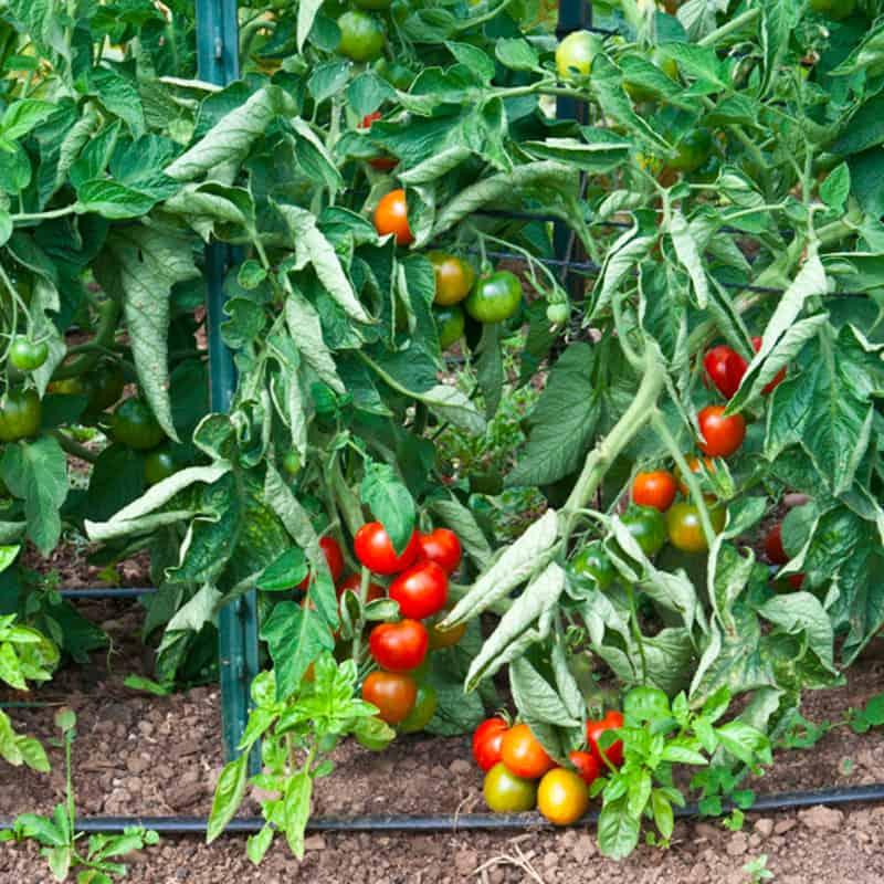 Nitrogen Toxicity Tomato