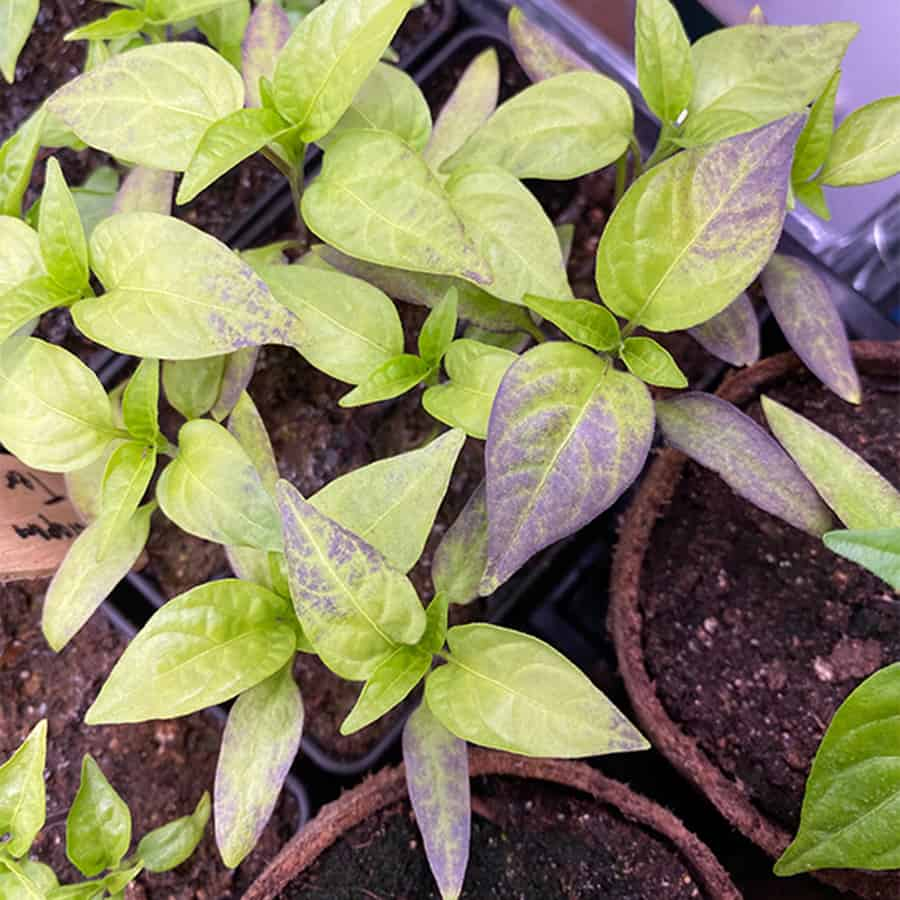 Phosphorus Deficiency Jalapeno Leaves