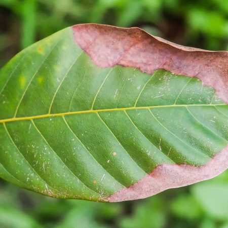 Potassium Deficiency In Plants