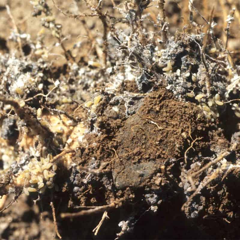 Root Aphid Damage Quinoa
