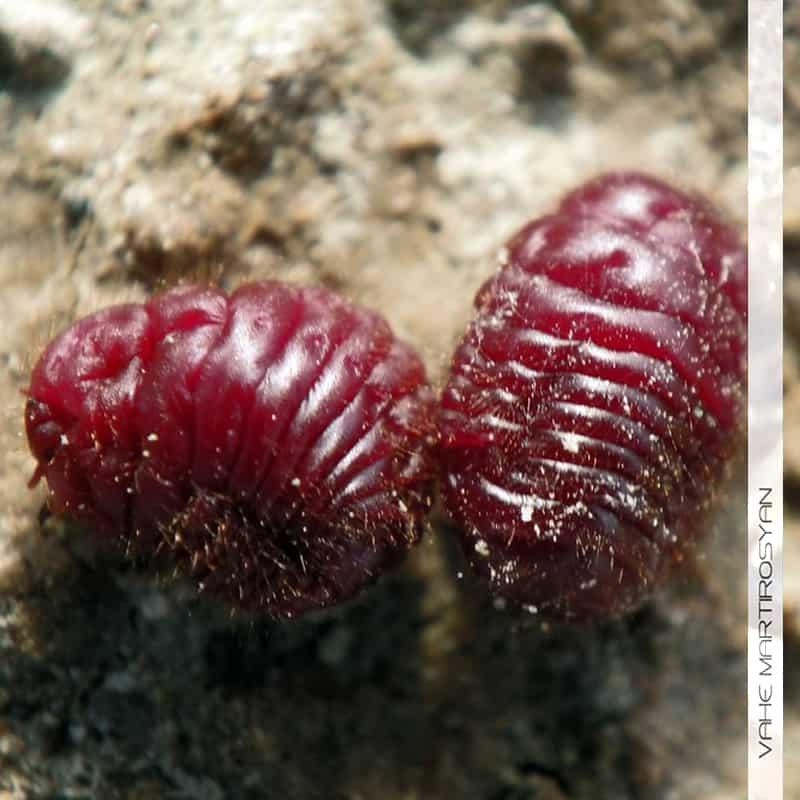 Armenian Cochineal