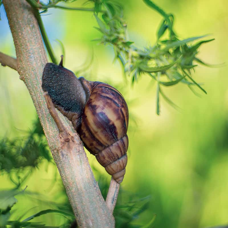 Garden Snail On a Cannabis Plant