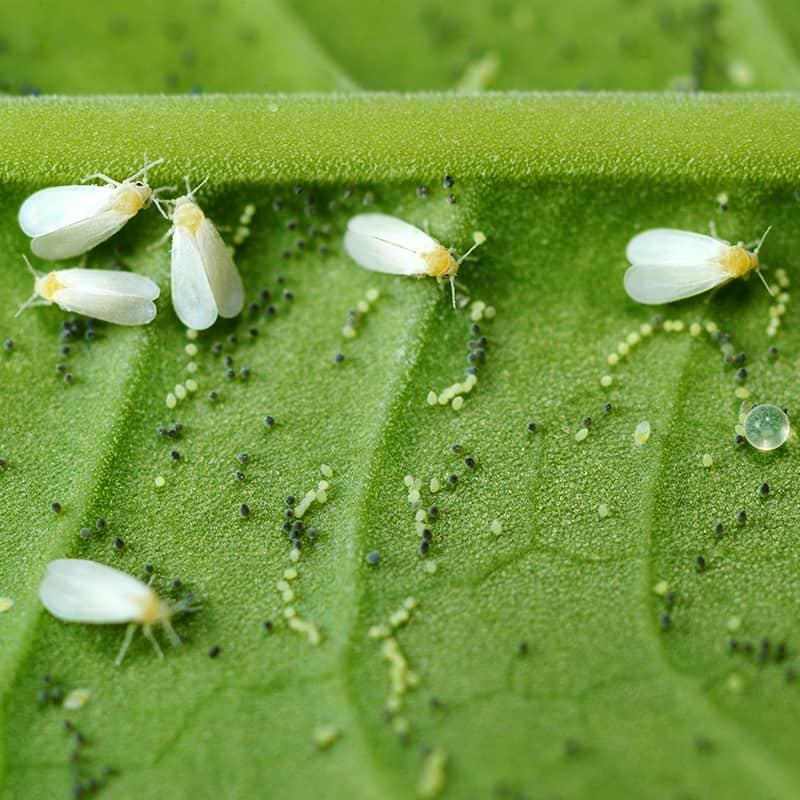 Silverleaf Whiteflies