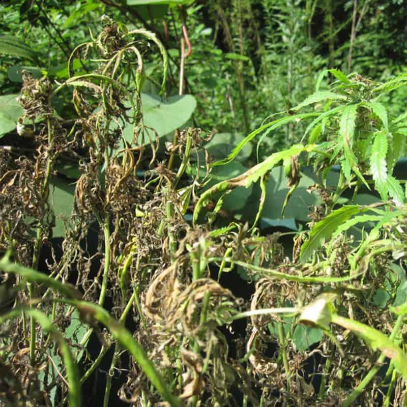 Fusarium Wilt Cannabis Plant