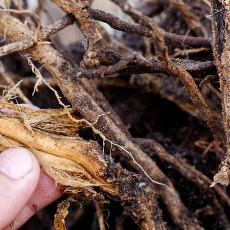 Root Rot and Treatment
