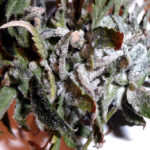 Does Trifecta Crop Control Work For Powdery Mildew, Grey Mold, Botrytis?